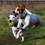 Jack_Russell_Terriers_Eddi_&_Lola