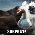 funny-dog-pictures-surprise-pug